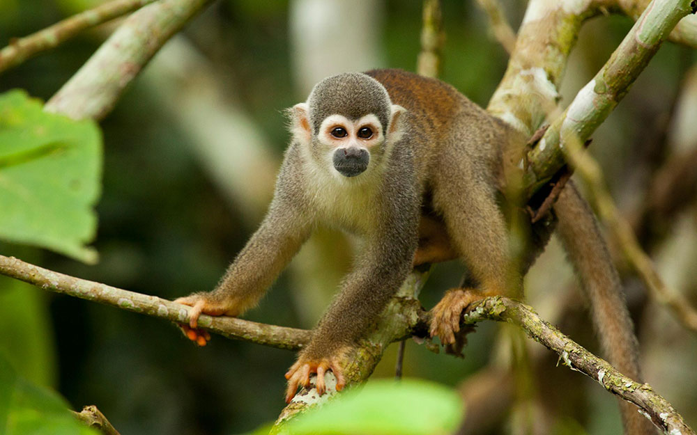 Amazon Ecuador Monkey