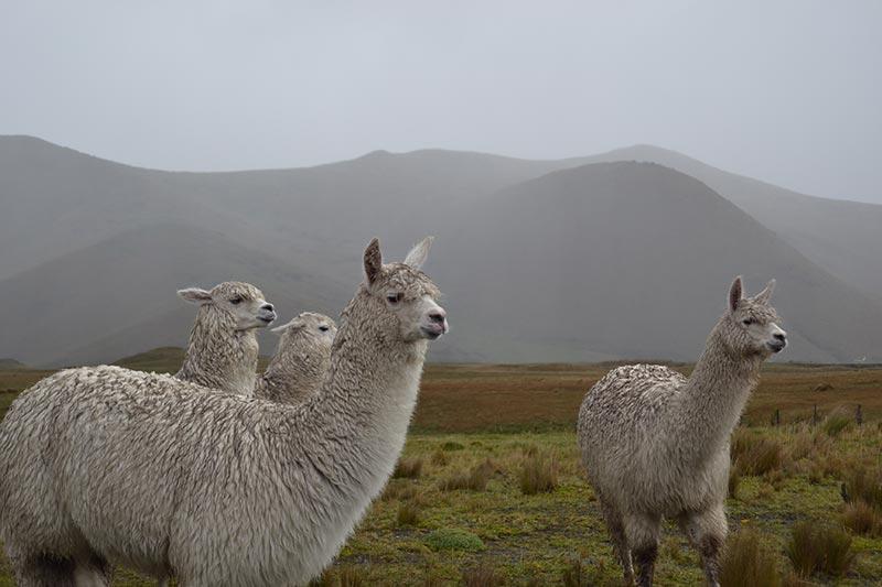 Andean Llamas