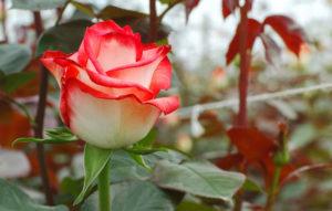 Ecuadorian Roses Plantation