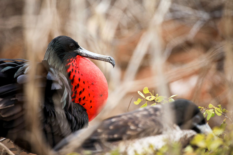Galapagos Male Frigate Bird
