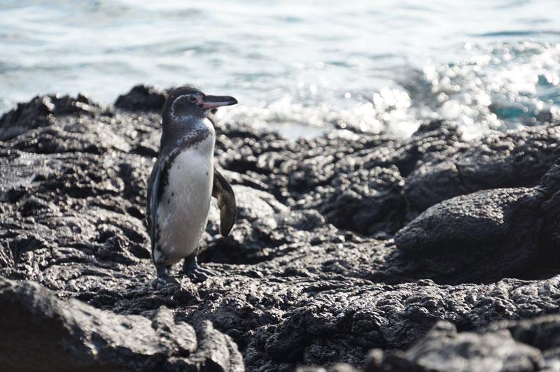 Galapagos Wildlife Penguin
