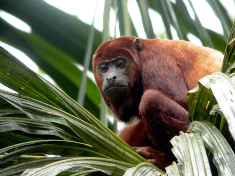 Hauling Monkey