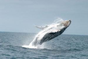 Humbpack Whales
