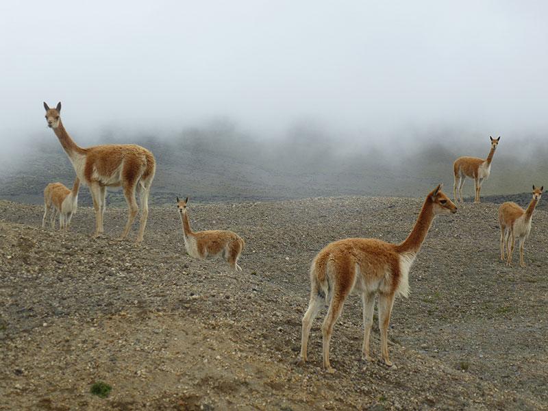 Chimborazo Vicuñas