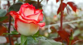 roses-customer-reviews