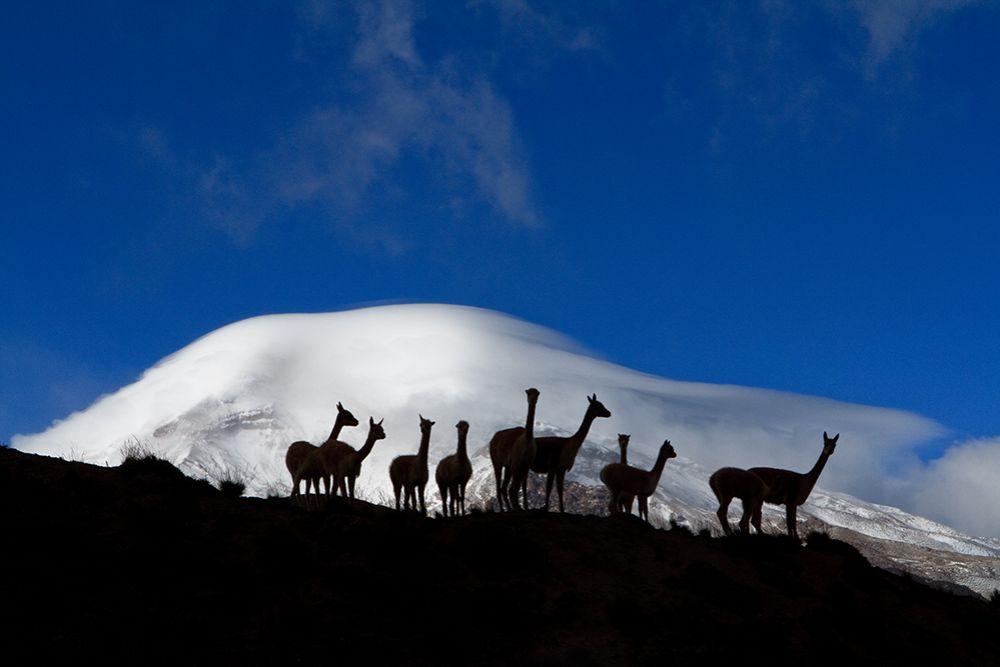 Chimborazo Ecuador Vicunas